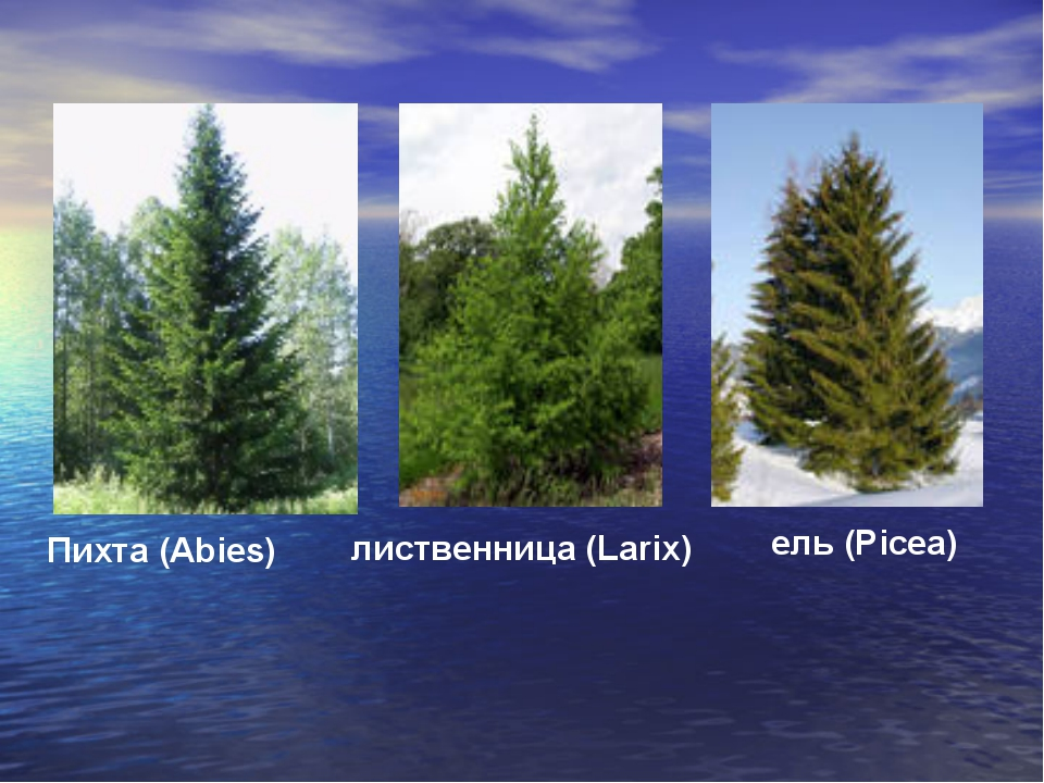 ель (Picea) Пихта (Abies) лиственница (Larix)