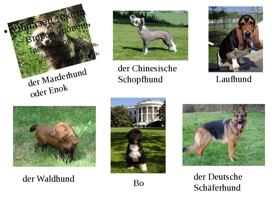 der Marderhund oder Enok der Chinesische Schopfhund Laufhund der Waldhund Bo...