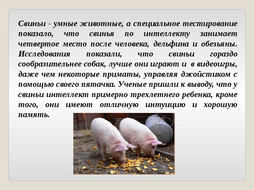 Свиньи - умные животные, а специальное тестирование показало, что свинья по и...