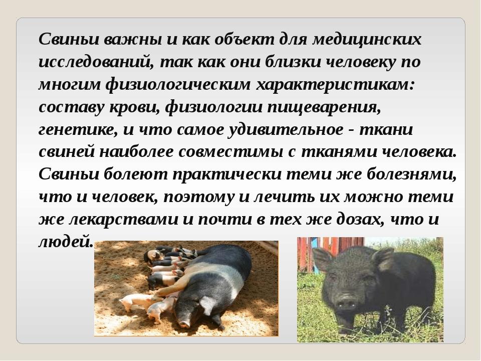 Свиньи важны и как объект для медицинских исследований, так как они близки че...
