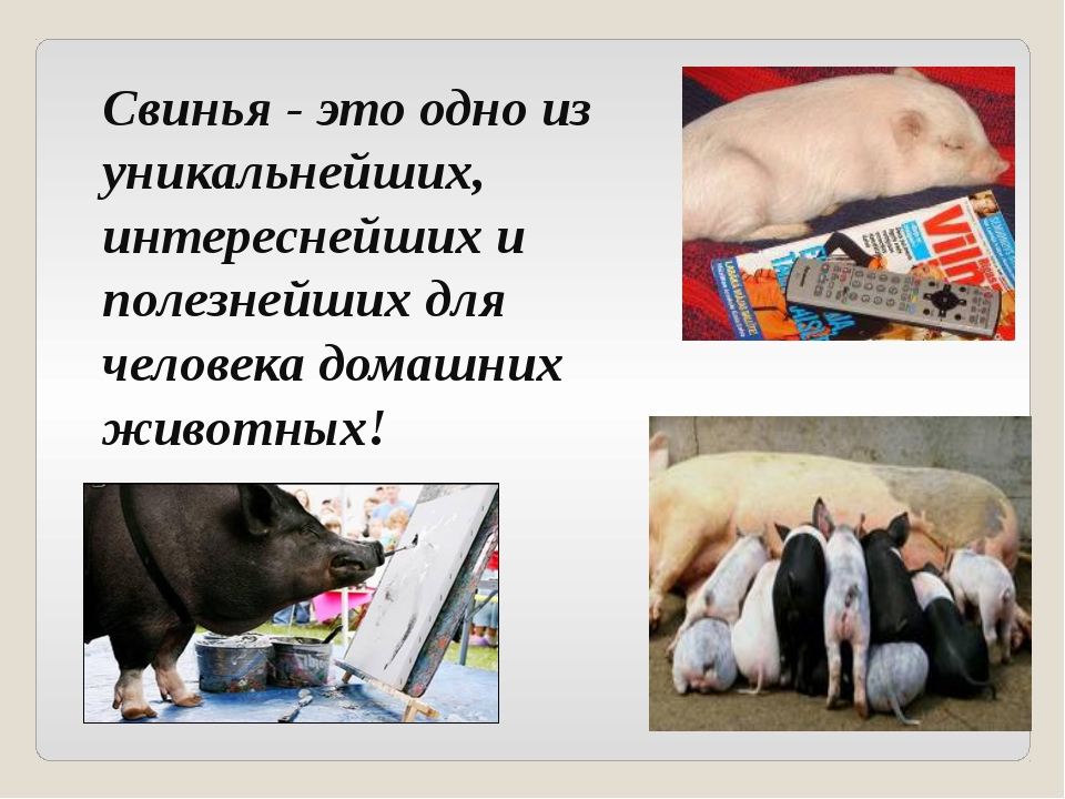 Свинья - это одно из уникальнейших, интереснейших и полезнейших для человека...
