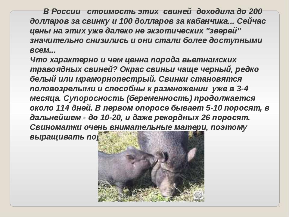 В России стоимость этих свиней доходила до 200 долларов за свинку и 100 долл...