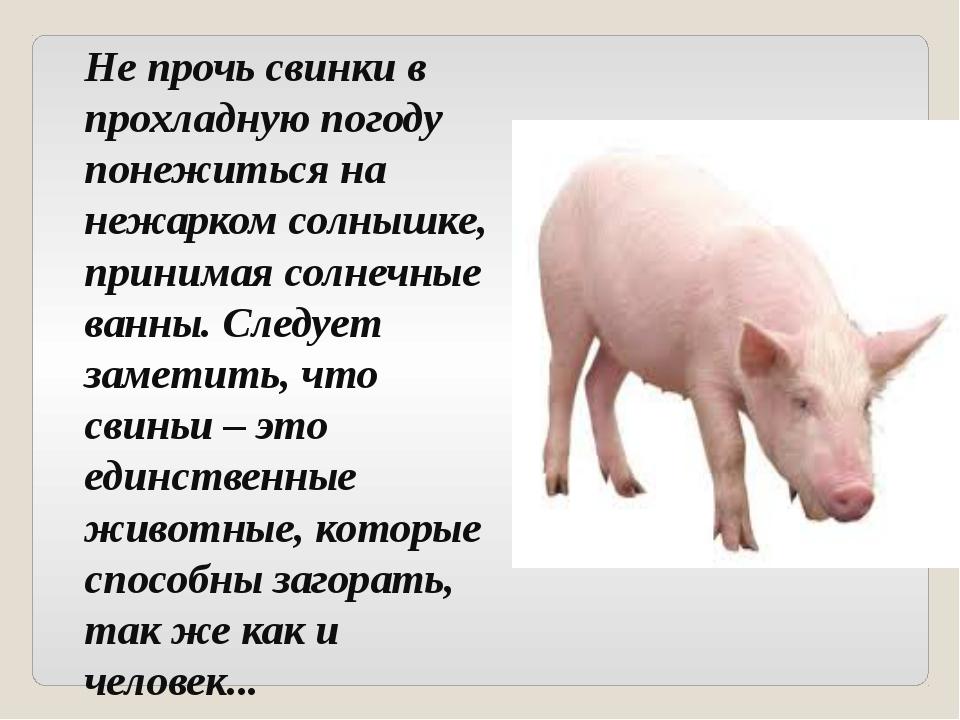 Не прочь свинки в прохладную погоду понежиться на нежарком солнышке, принимая...
