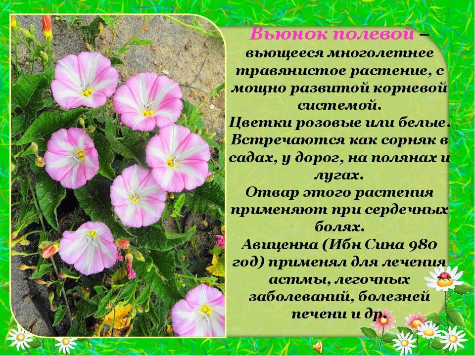 Вьюнок полевой – вьющееся многолетнее травянистое растение, с мощно развитой...