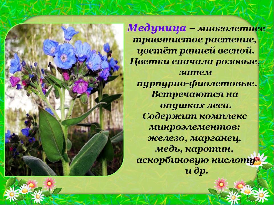 Медуница – многолетнее травянистое растение, цветёт ранней весной. Цветки сна...