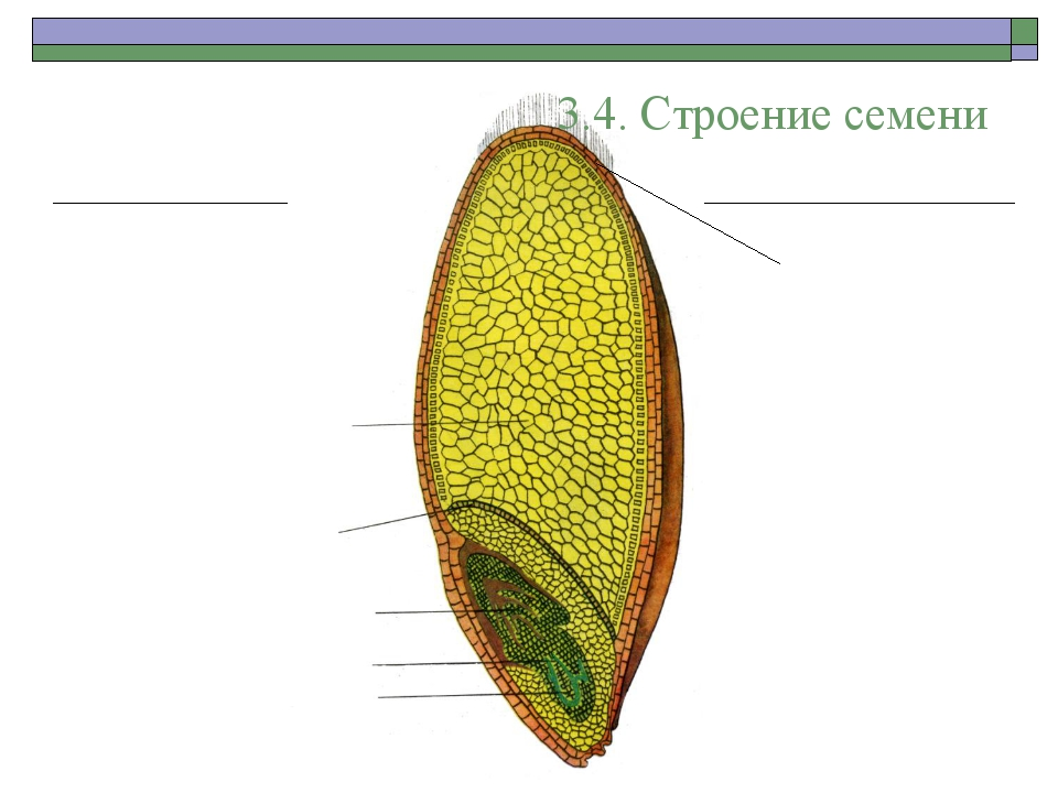 3.4. Строение семени Эндосперм Семядоля Зародышевая почечка Зародышевый стебе...