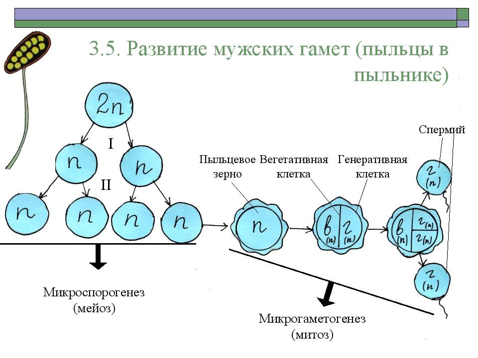 3.5. Развитие мужских гамет (пыльцы в пыльнике) I II Микроспорогенез (мейоз)...
