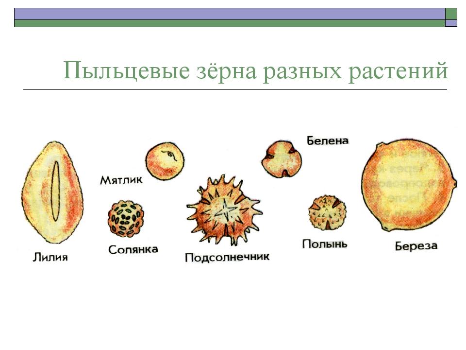 Пыльцевые зёрна разных растений