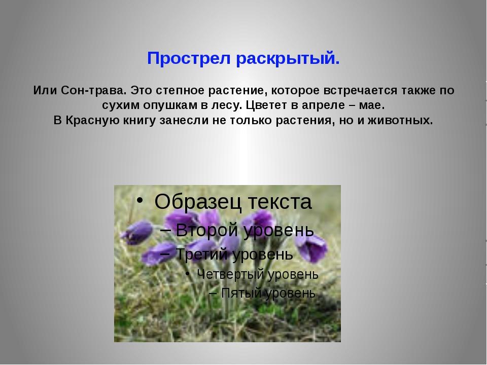Прострел раскрытый. Или Сон-трава. Это степное растение, которое встречается...
