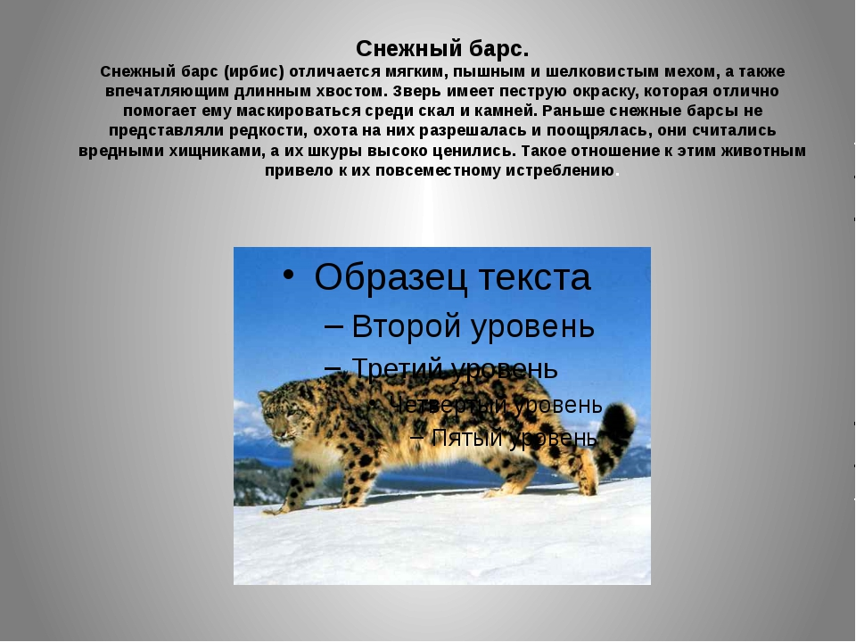 Снежный барс. Снежный барс (ирбис) отличается мягким, пышным и шелковистым м...