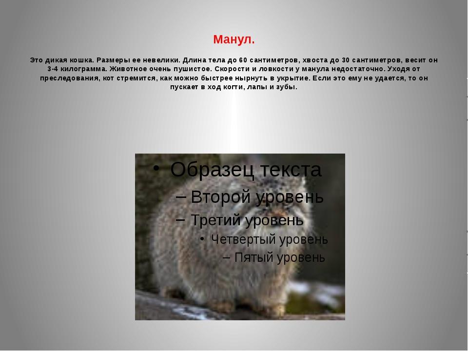 Манул. Это дикая кошка. Размеры ее невелики. Длина тела до 60 сантиметров, х...