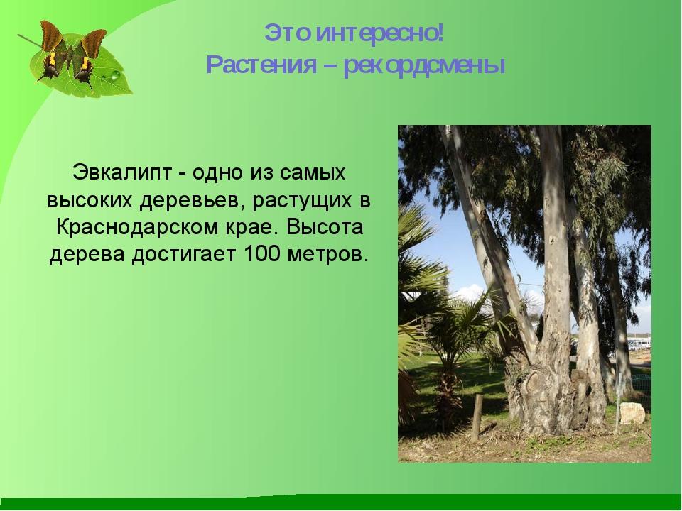 Эвкалипт - одно из самых высоких деревьев, растущих в Краснодарском крае. Выс...