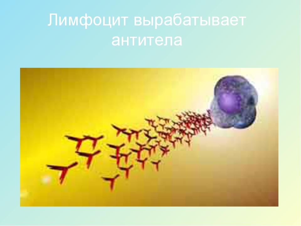 Лимфоцит вырабатывает антитела