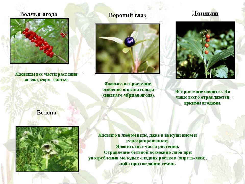 Волчья ягода Вороний глаз Ядовиты все части растения: ягоды, кора, листья. Яд...