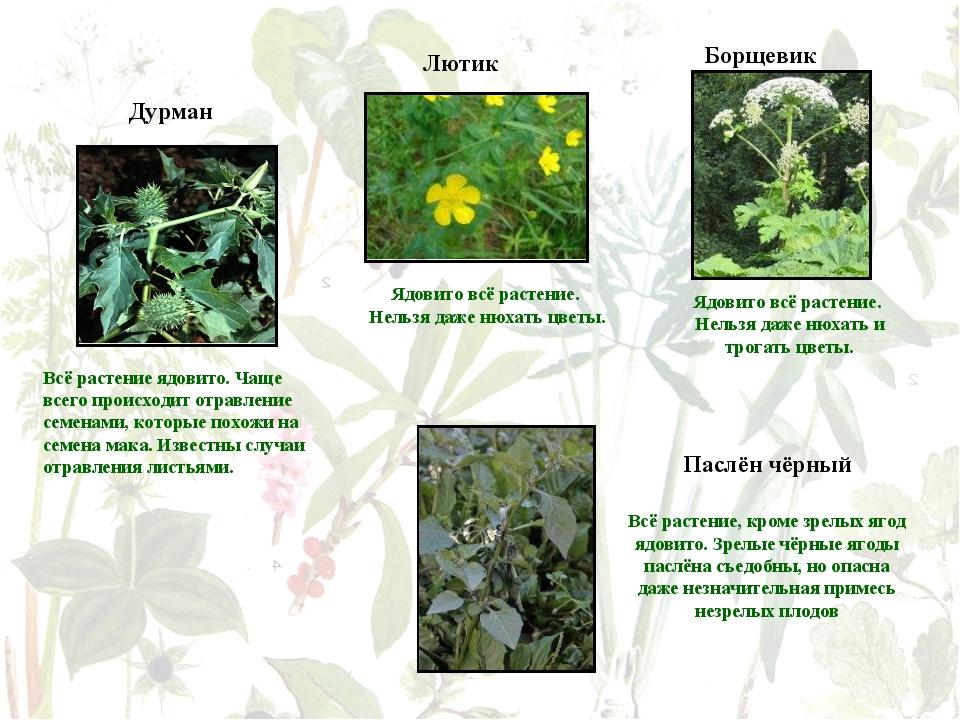 Дурман Всё растение ядовито. Чаще всего происходит отравление семенами, котор...