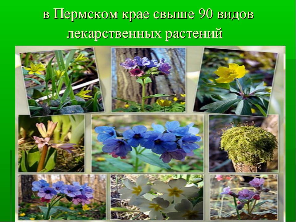 в Пермском крае свыше 90 видов лекарственных растений