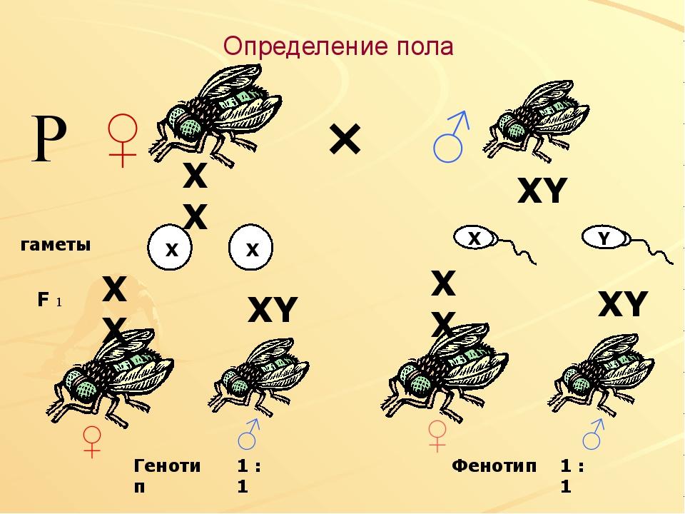 Определение пола × ♀ ♂ гаметы F 1 Р Генотип 1 : 1 1 : 1 Фенотип XY X X ♀ ♀ ♂...