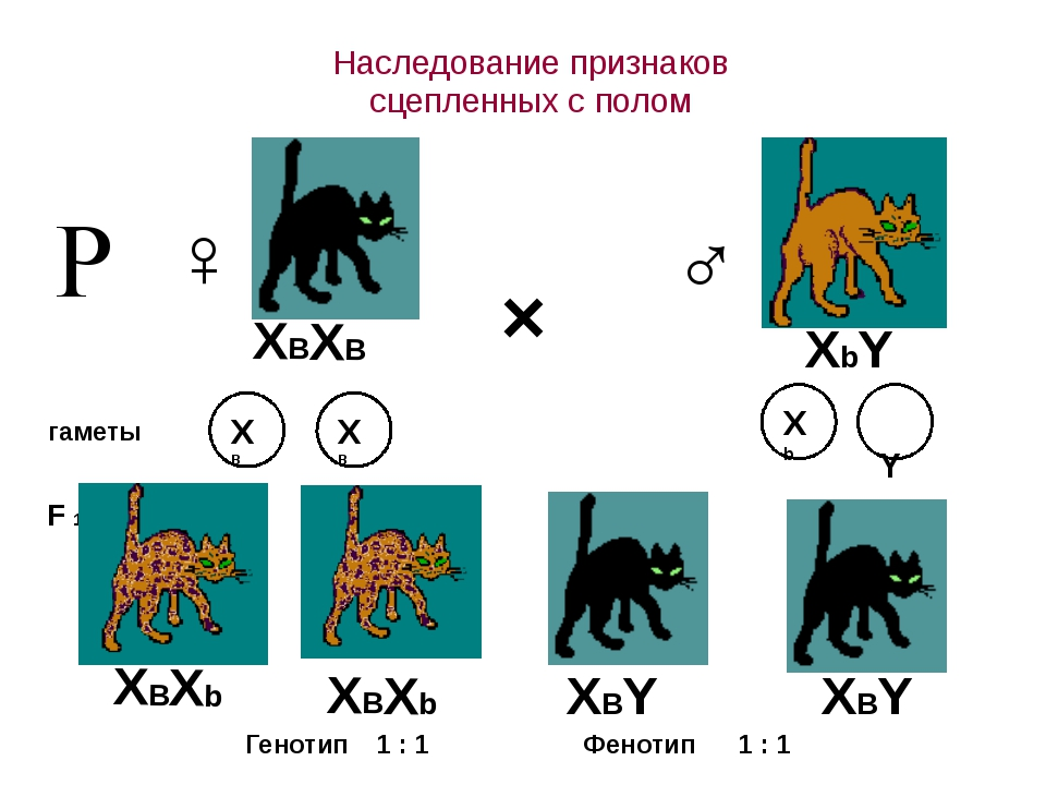 Наследование признаков сцепленных с полом × ♀ ♂ гаметы F 1 Р Генотип 1 : 1 1...