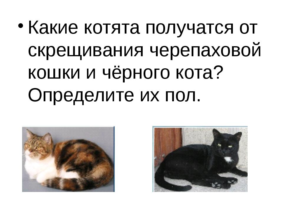 Какие котята получатся от скрещивания черепаховой кошки и чёрного кота? Опред...