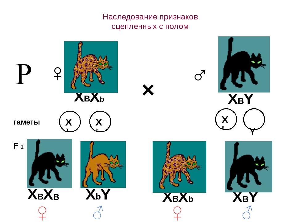 Наследование признаков сцепленных с полом × ♀ ♂ гаметы F 1 Р XВXb XBY XВ Xb...