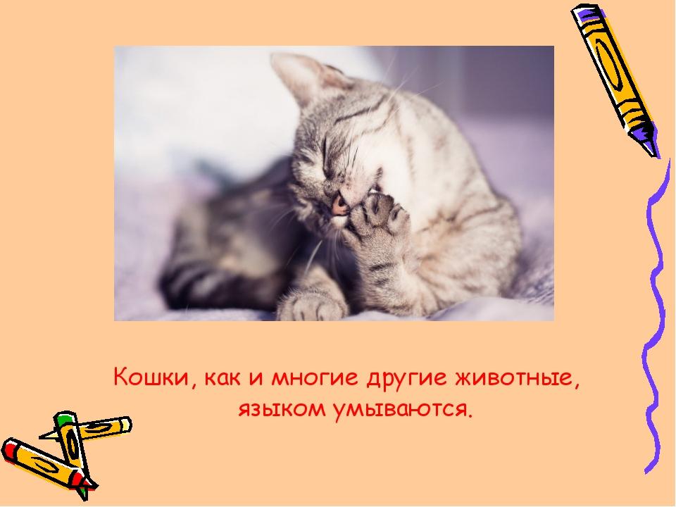 Кошки, как и многие другие животные, языком умываются.