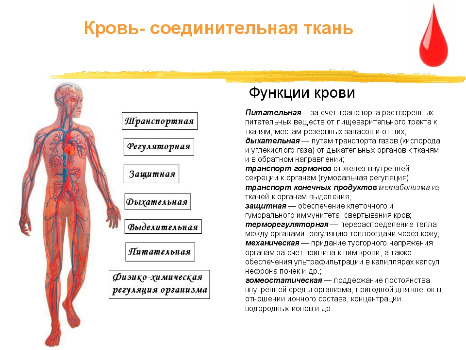 Питательная —за счет транспорта растворенных питательных веществ от пищеварит...