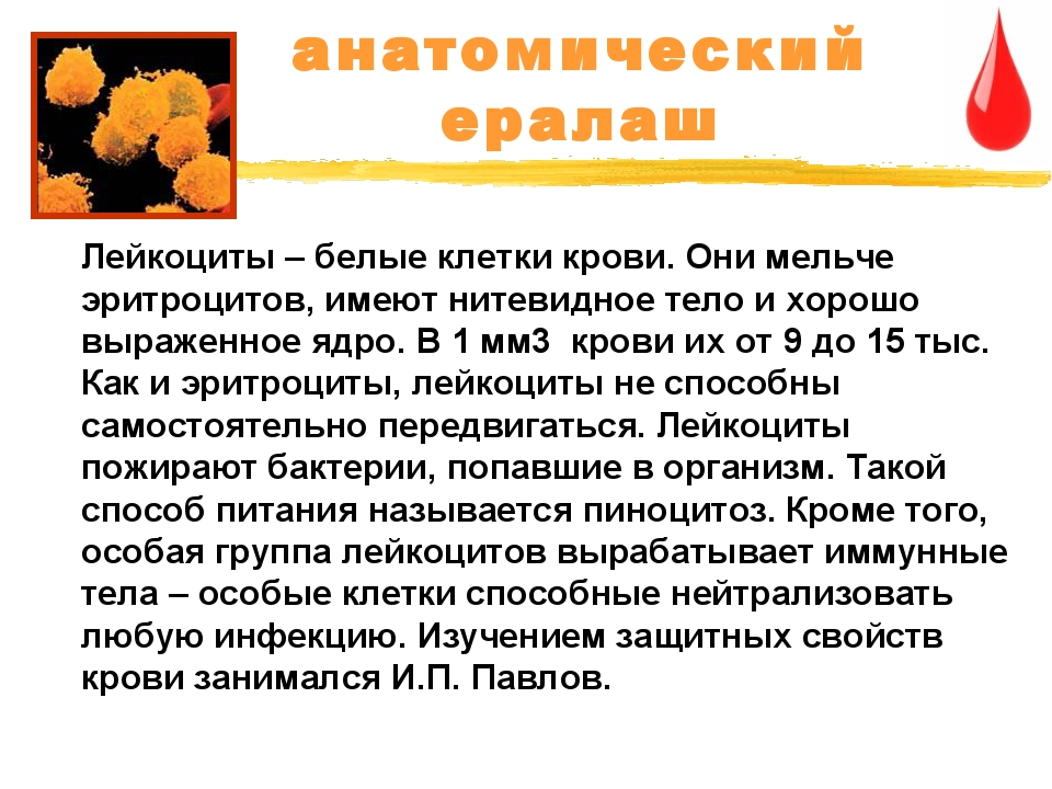 анатомический ералаш Лейкоциты – белые клетки крови. Они мельче эритроцитов,...