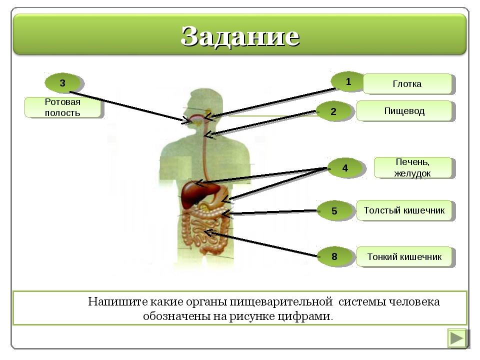 Напишите какие органы пищеварительной системы человека обозначены на рисунке...