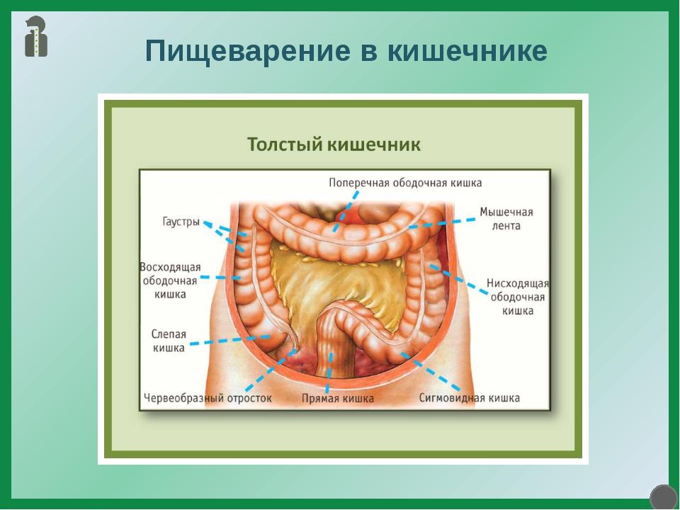 Пищеварение в кишечнике Полужидкая пищевая кашица из желудка отдельными порци...