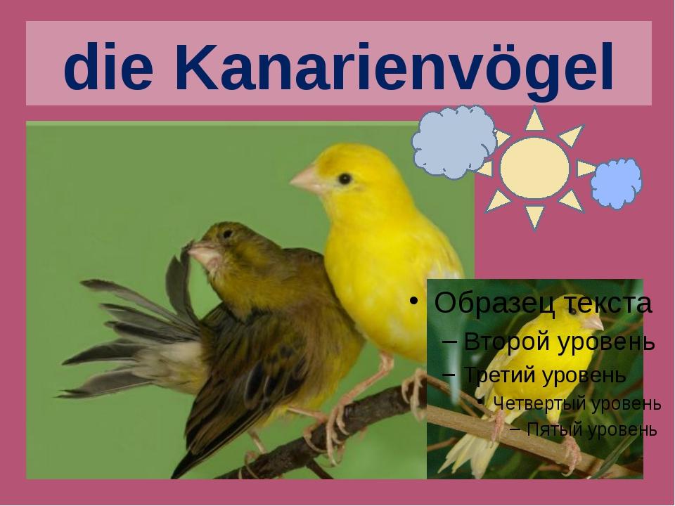 die Kanarienvögel