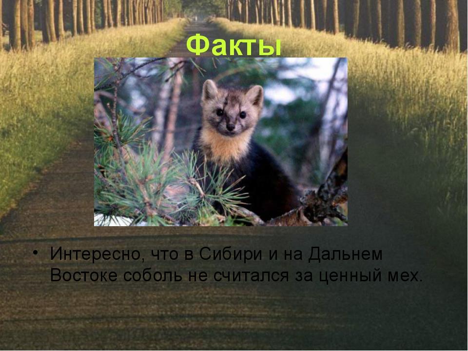 Факты Интересно, что в Сибири и на Дальнем Востоке соболь не считался за ценн...