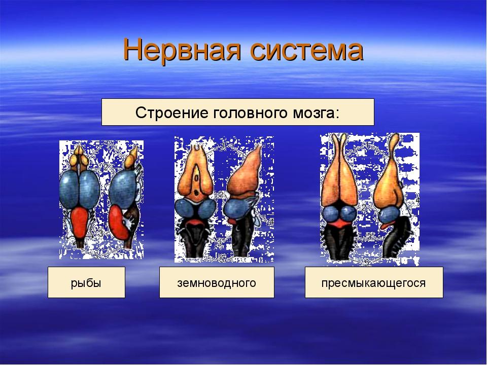 Нервная система рыбы Строение головного мозга: земноводного пресмыкающегося