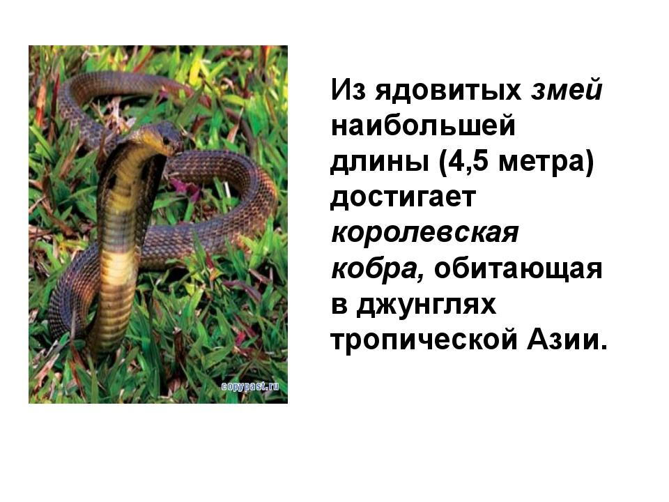Из ядовитых змей наибольшей длины (4,5 метра) достигает королевская кобра, об...