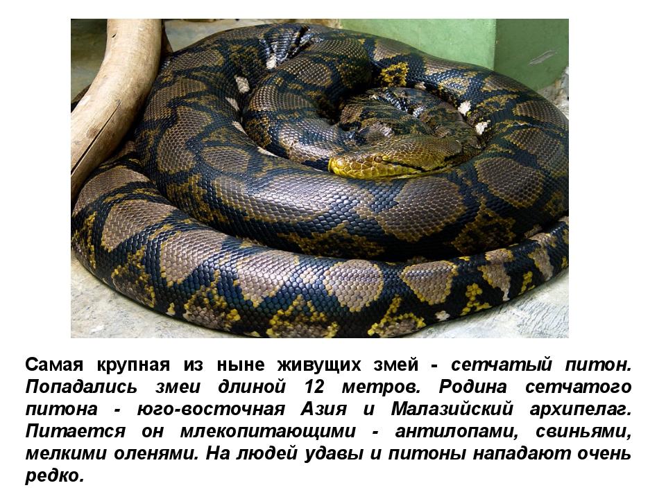 Самая крупная из ныне живущих змей - сетчатый питон. Попадались змеи длиной 1...
