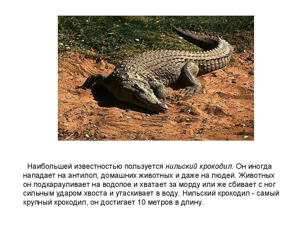 Наибольшей известностью пользуется нильский крокодил. Он иногда нападает на...