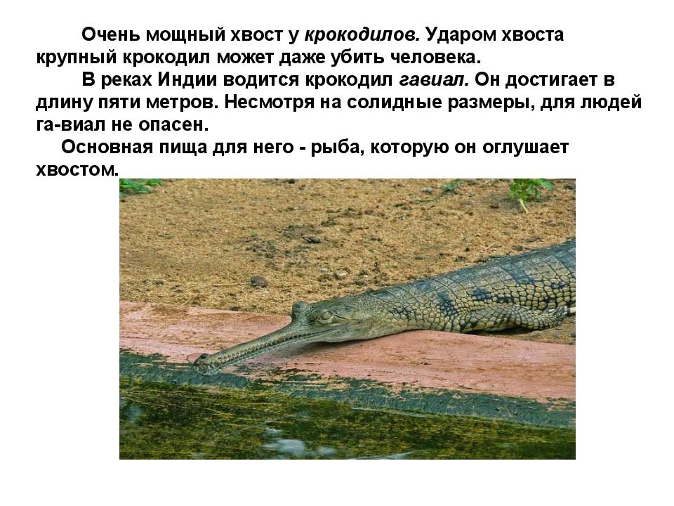 Очень мощный хвост у крокодилов. Ударом хвоста крупный крокодил может даже у...