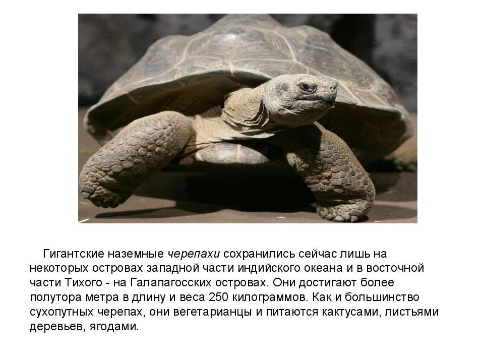 Гигантские наземные черепахи сохранились сейчас лишь на некоторых островах з...