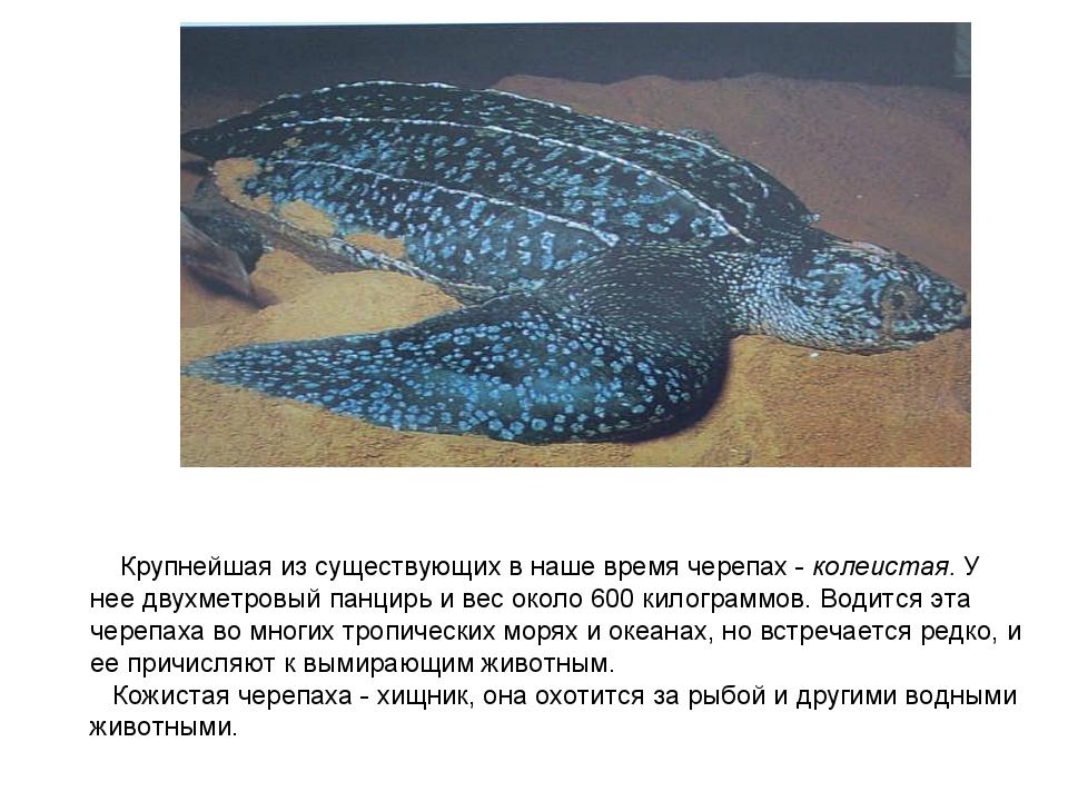 Крупнейшая из существующих в наше время черепах - колеистая. У нее двухметро...