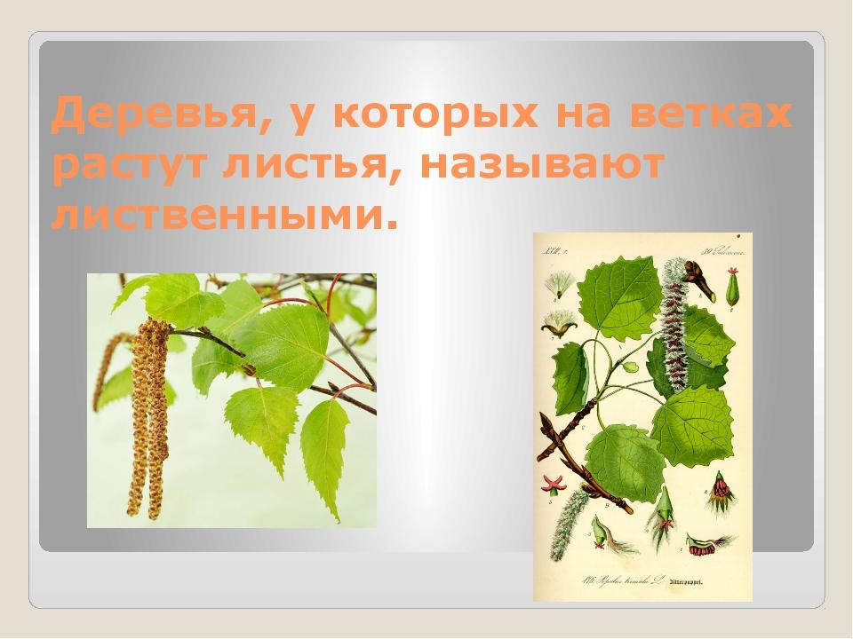 Деревья, у которых на ветках растут листья, называют лиственными.