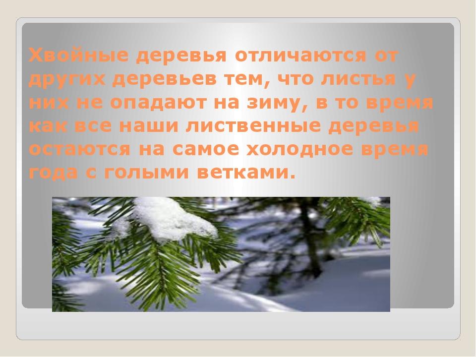 Хвойные деревья отличаются от других деревьев тем, что листья у них не опадаю...