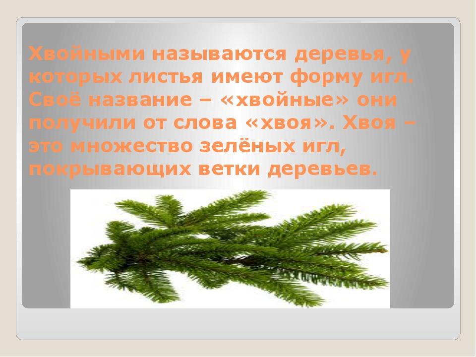 Хвойными называются деревья, у которых листья имеют форму игл. Своё название...