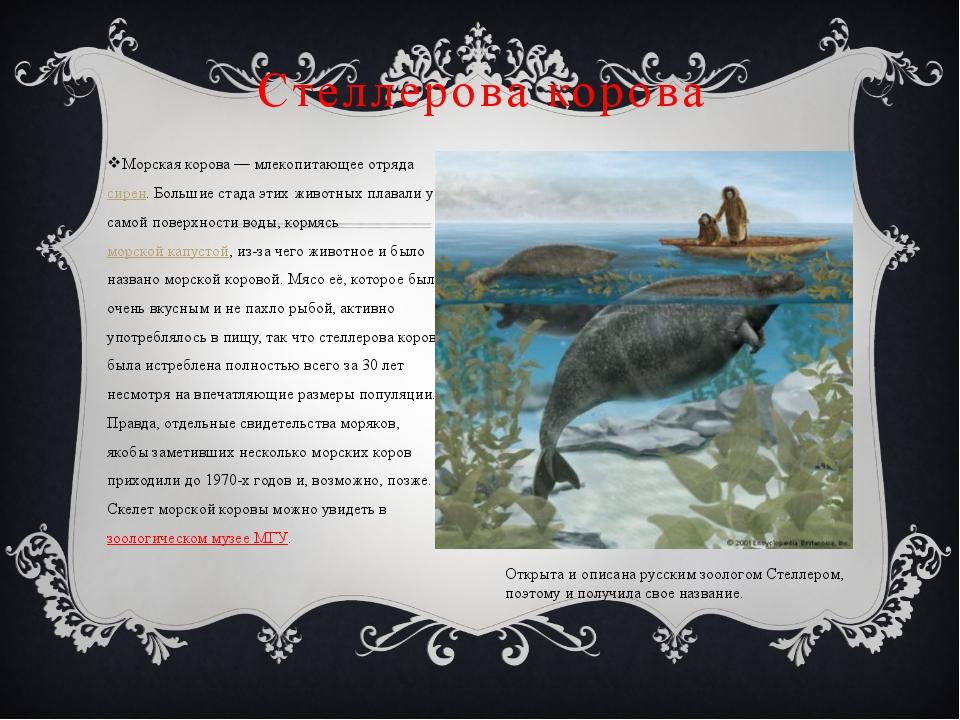 Морская корова — млекопитающее отряда сирен. Большие стада этих животных плав...