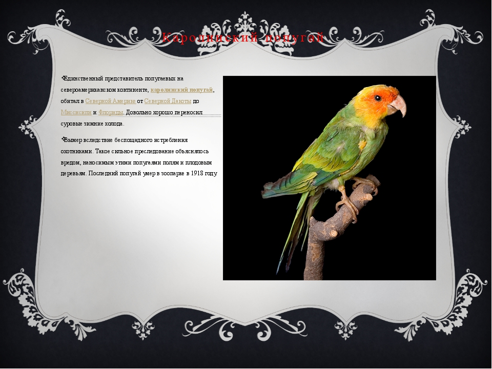Единственный представитель попугаевых на североамериканском континенте, карол...