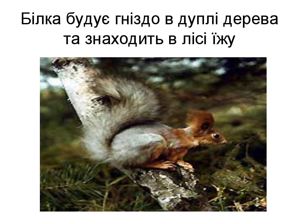 Білка будує гніздо в дуплі дерева та знаходить в лісі їжу
