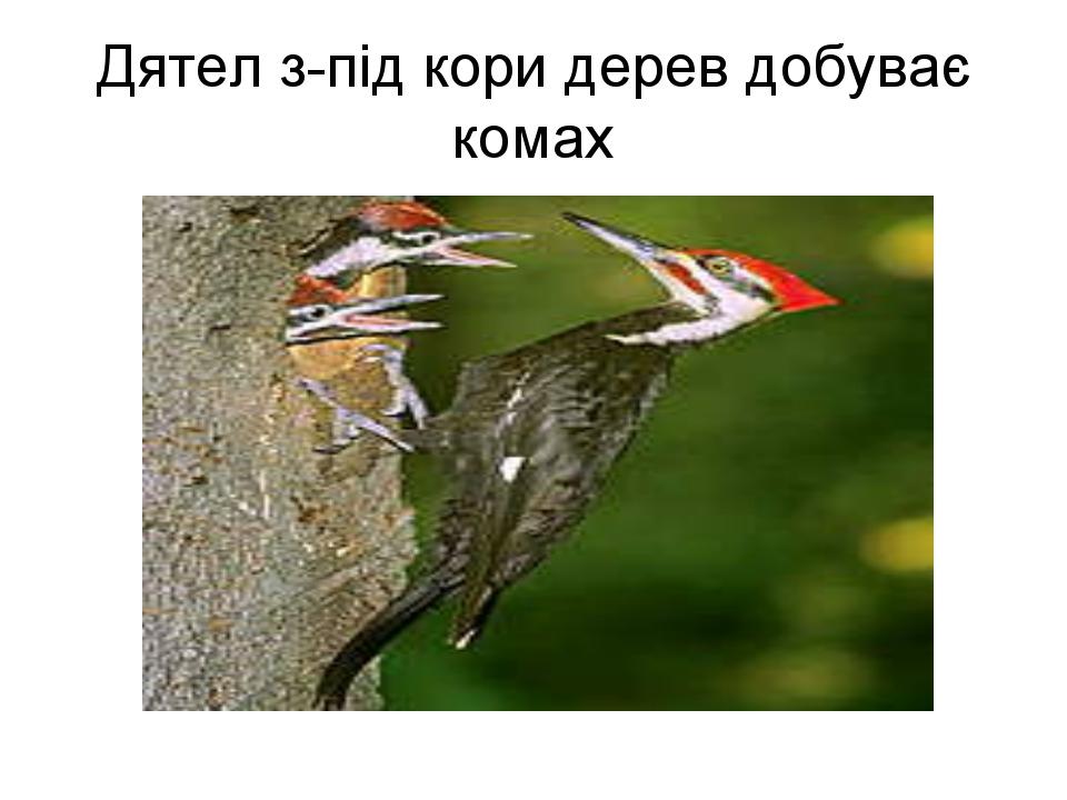 Дятел з-під кори дерев добуває комах