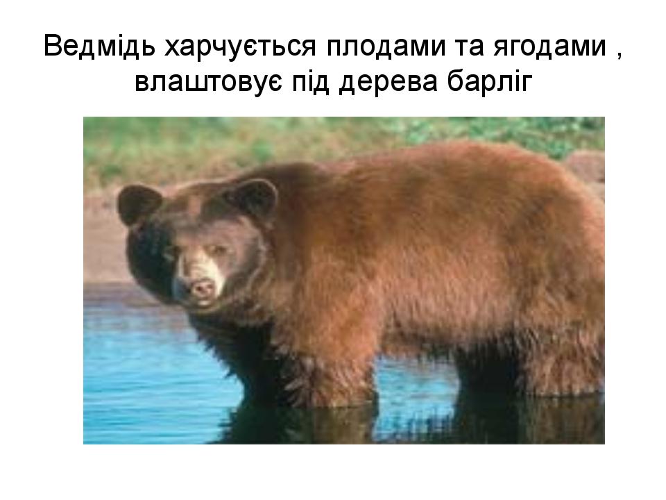 Ведмідь харчується плодами та ягодами , влаштовує під дерева барліг