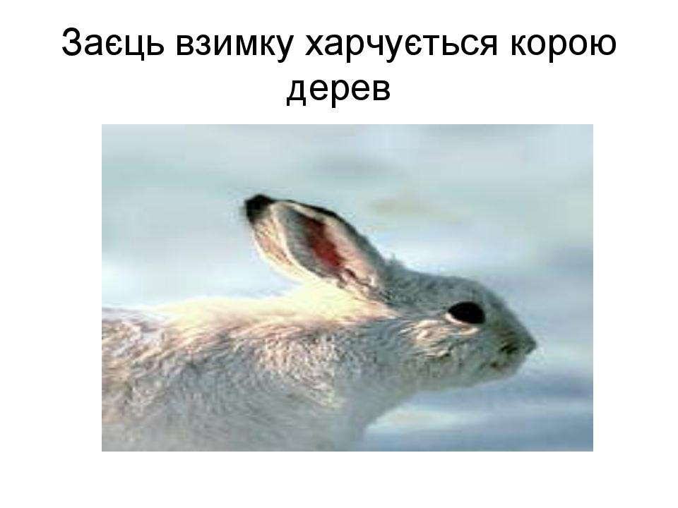 Заєць взимку харчується корою дерев