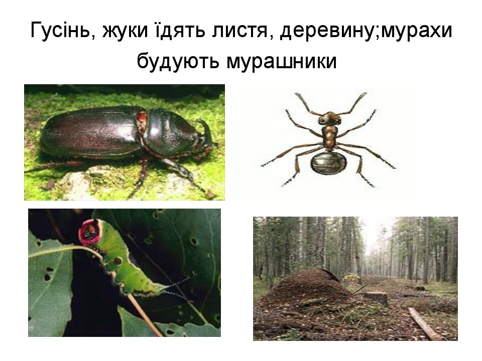 Гусінь, жуки їдять листя, деревину;мурахи будують мурашники