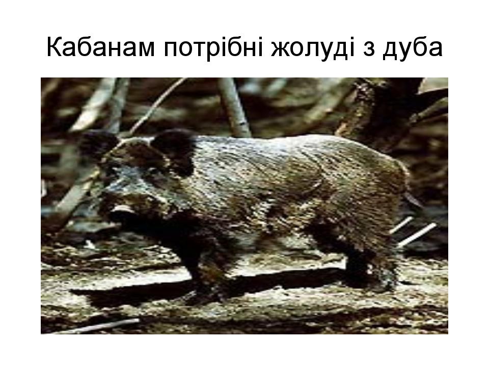 Кабанам потрібні жолуді з дуба