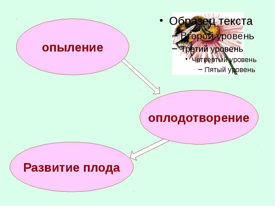 опыление оплодотворение Развитие плода
